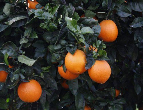 ¿De qué continente proviene la naranja y cuál es su origen?