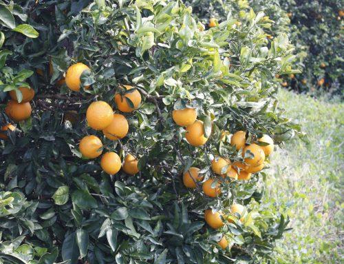 ¿En qué momento se podan los naranjos?
