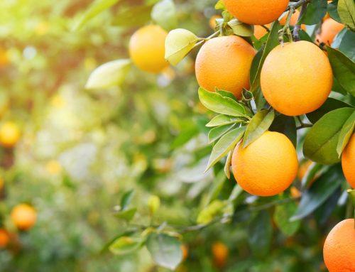 ¿Cuál es el proceso de crecimiento de una naranja?