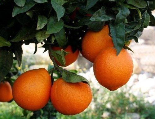 Navelate, la mejor naranja (originaria de Vinaròs)